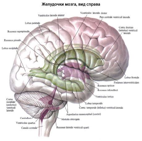 желудочки мозга картинки схемы