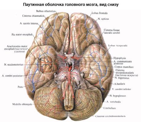 борозд и углублений мозга,