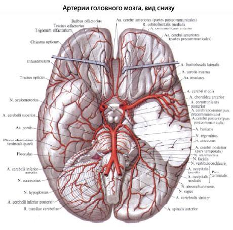 A. cerebri anterior снабжает
