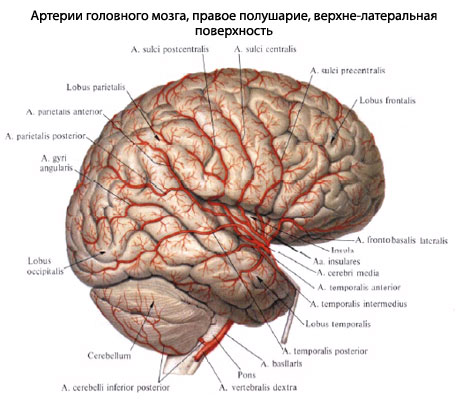 A. cerebri media снабжает