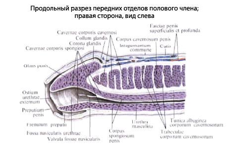 Пещеристые тела полового члена, corpora cavernosa penis, представляют