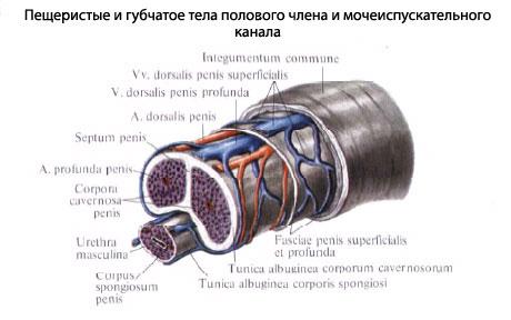 Строение пениса человека