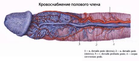 Сосуды и нервы артерии полового члена являются ветвями a. femoralis