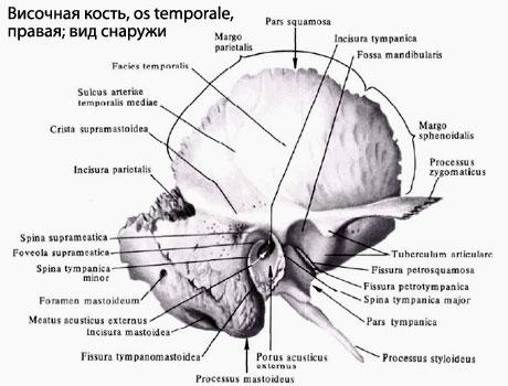 боковых стенок черепа.
