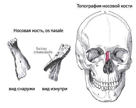 Носовая кость человека | Анатомия Носовой кости, строение, функции ...