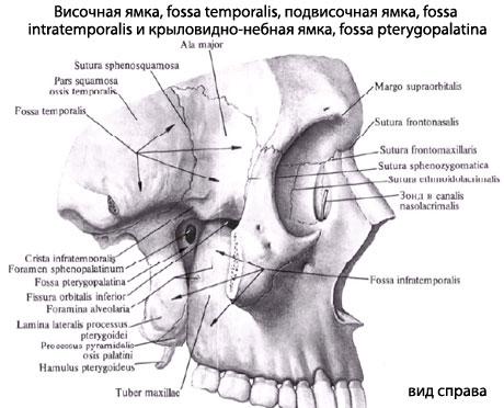 Височно нижний челюстной сустав анатомия деформац боли суставов пальцев рук