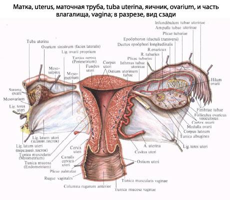 Половые железы -