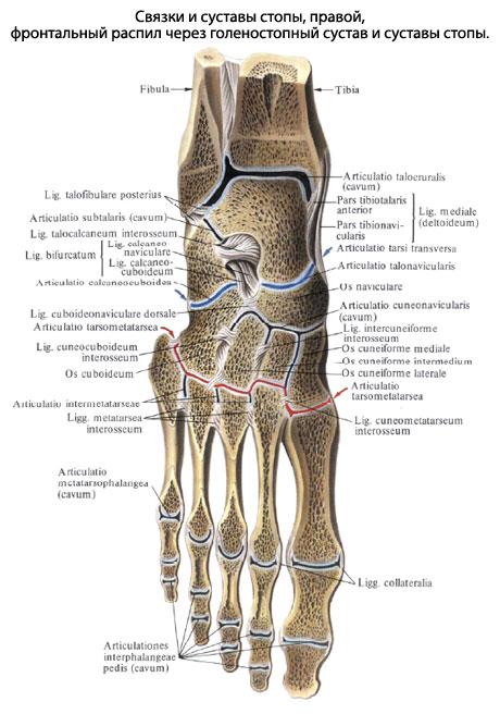 Строение суставов ступни человека вывих плечевого сустава операция цена