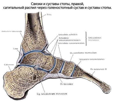 Пяточно-кубовидный сустав лучезапястный сустав беременной