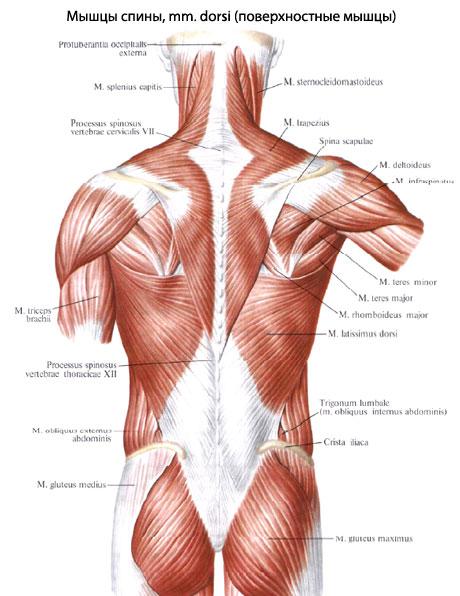 Поверхностные мышцы.