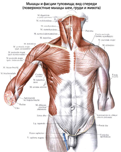 Мышцы груди, относящиеся к