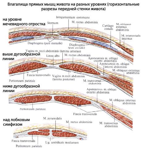 Далее мышцы живота сгибают