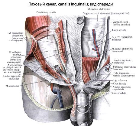 паховый канал человека анатомия пахового канала строение функции