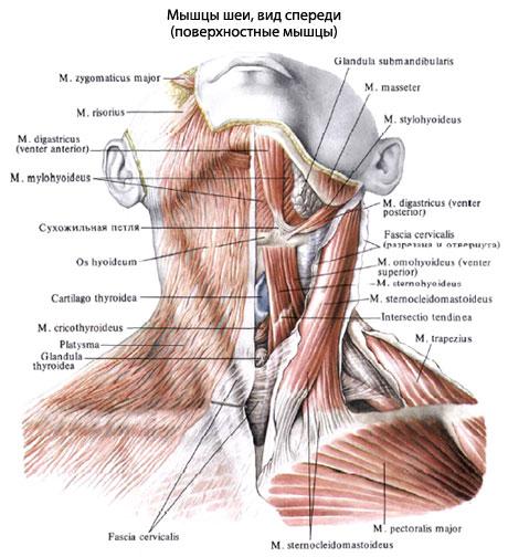 Аутохтонные мышцы шеи