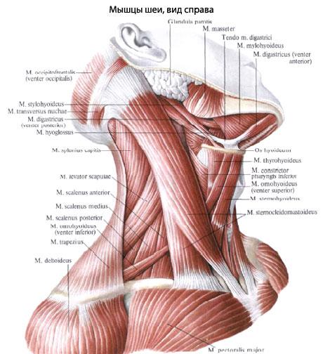 Топографически мышцы шеи