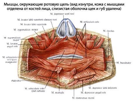 для обследования Мышц рта: