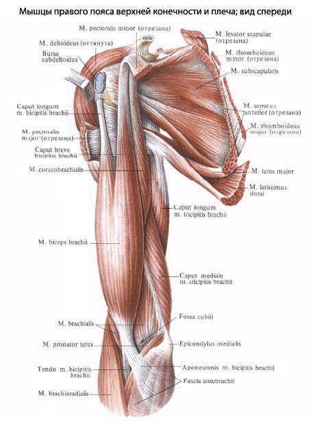 Обе группы мышц отделены друг