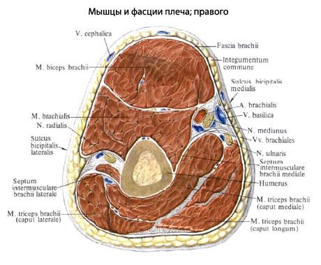 В ней выделяются две головки: большая плечевая...  366. Мышцы и фасции...