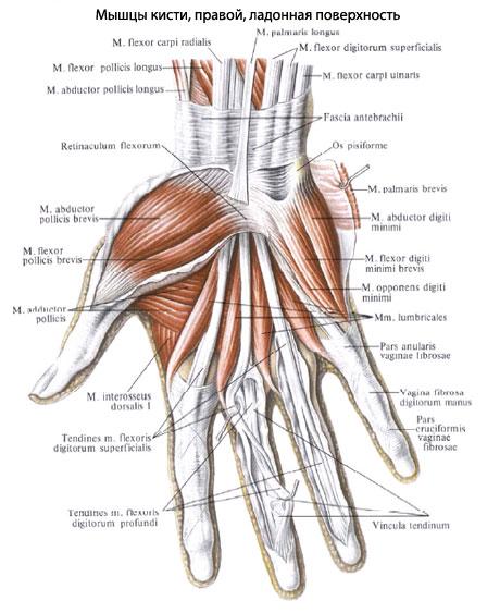 У человека мышцы кисти,
