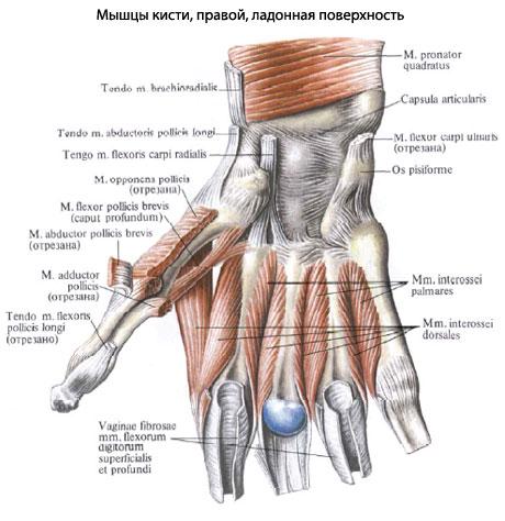 предыдущими двумя мышцами.