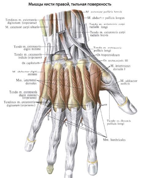 Тест строение мышц 8 класс
