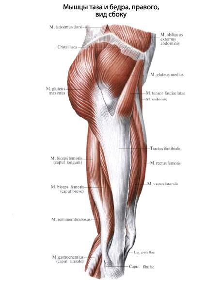 коленный сустав и сгибает