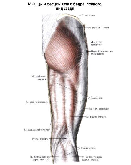 растяжение полусухожильной мышцы бедра