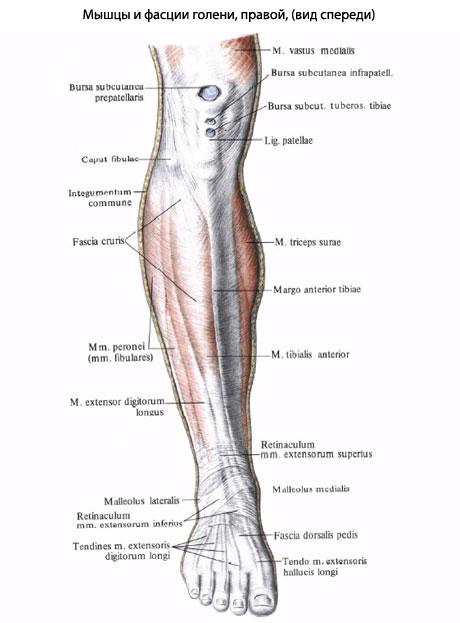 оси мышцы лежат и сбоку,