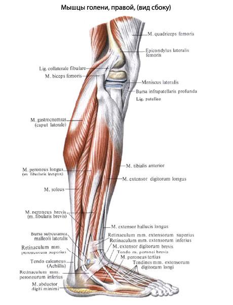 некоторые из задних мышц