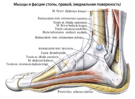 Подошвенные мышцы.