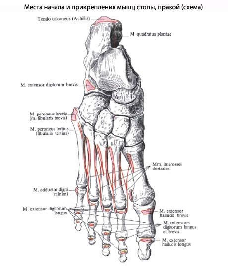 Функция. Мышцы медиальной