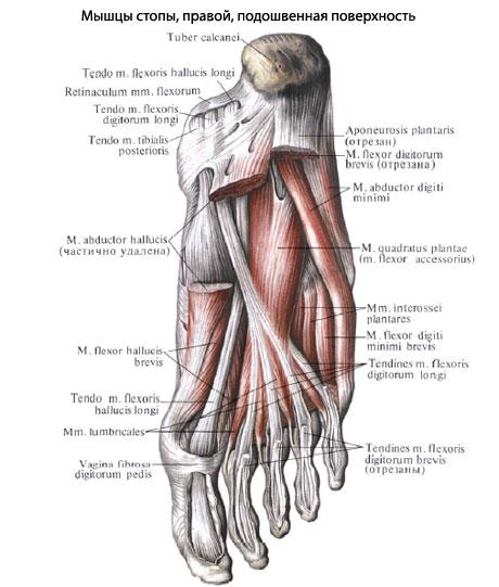 Функция мышц латеральной