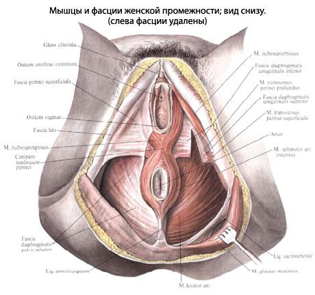 anatomiya-vlagalisha-cheloveka