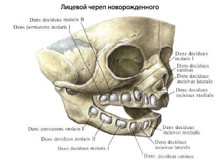 Молочные зубы у детей фото рентген