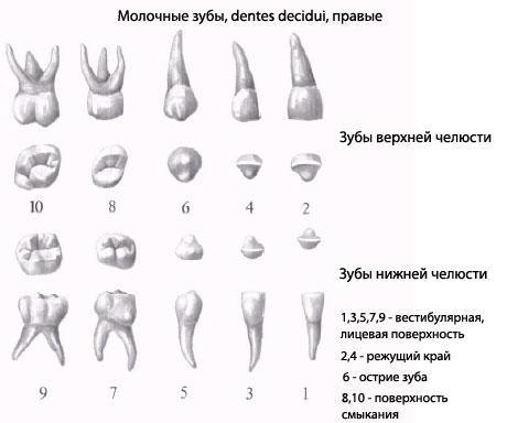 Зубы. Изображение расположения