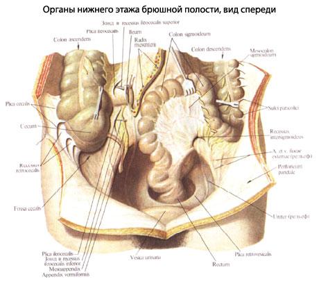 Вид брюшной полости человека