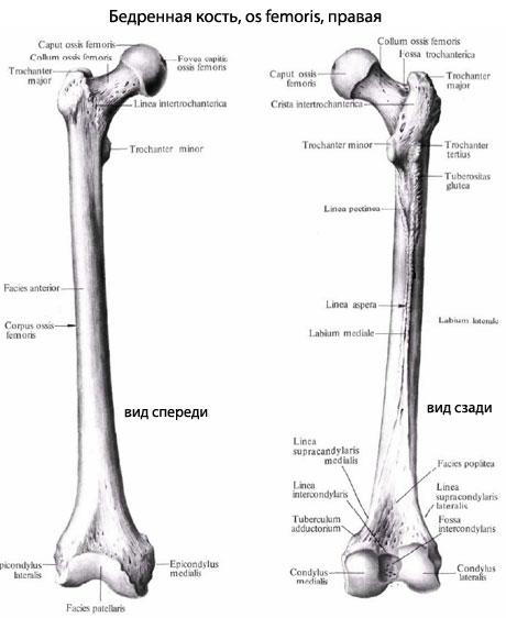 Тело бедренной кости несколько