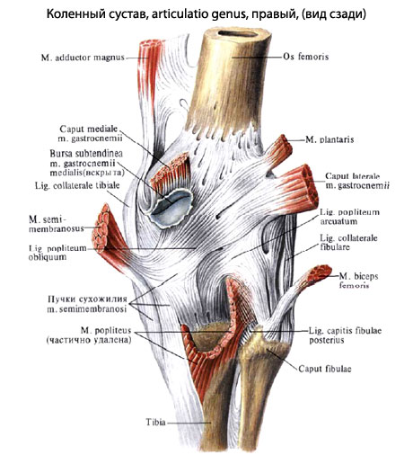 ...оболочки коленного сустава на кости, составляющие коленный сустав...