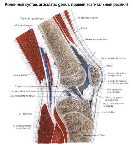 Полость коленного сустава вскрыта. щелковом поле, area intercondylaris...