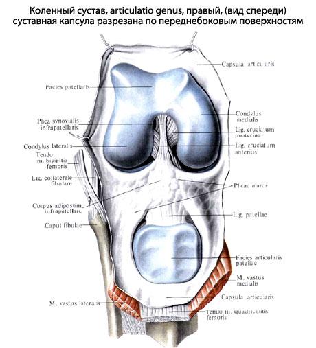 Кроме описанных внесуставных связок, коленный сустав имеет две...