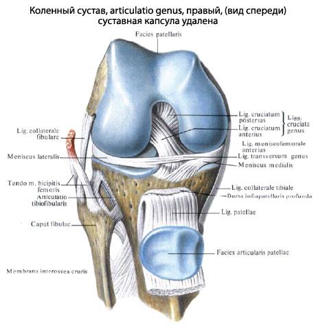 Коленный сустав (Суставная капсула удалена)