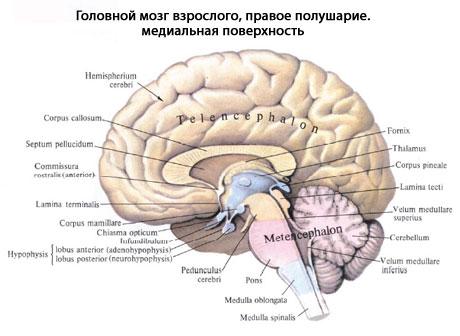 или основание мозга,
