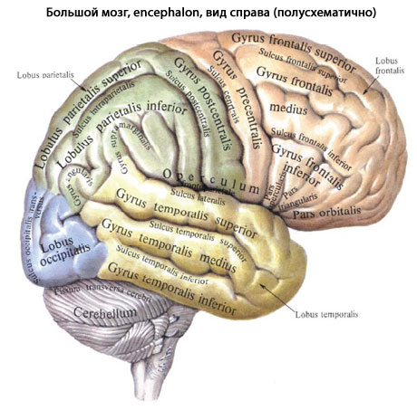 анализаторов передний мозг