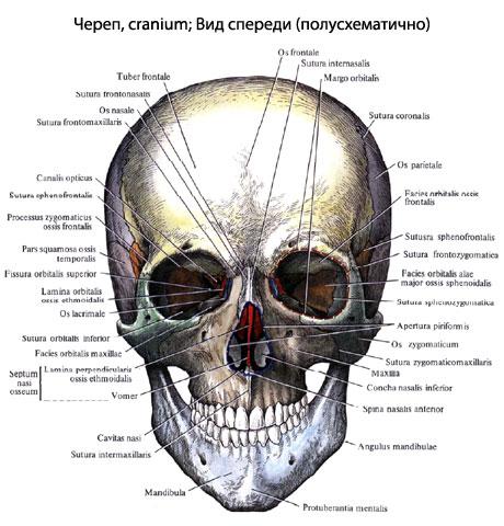 анатомия фото череп человека