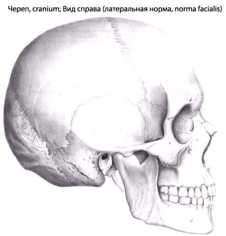 Сообразно этому череп у всех