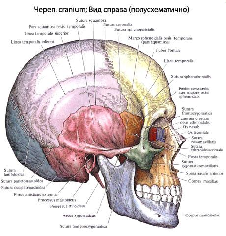 черепа у человека входят: