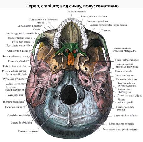 Мозговой череп развивается в