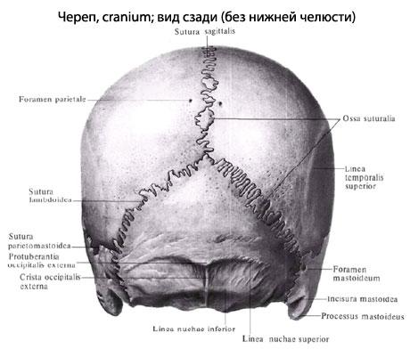 Череп, как скелет головы,