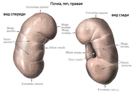 Олигурия и анурия