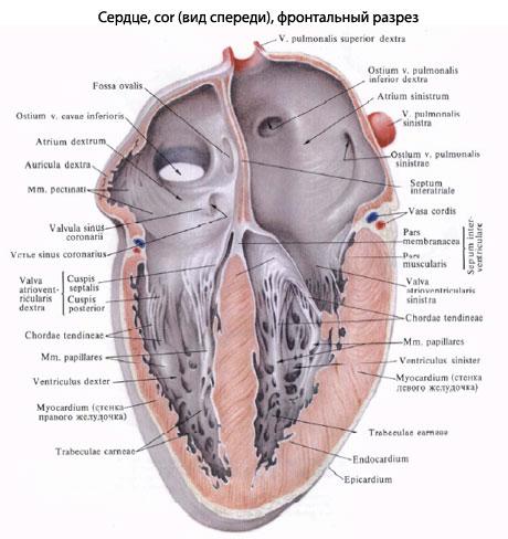 Полость сердца подразделяется